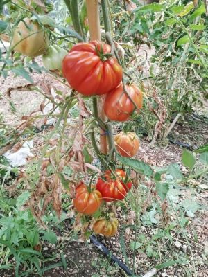 Agriturismo NIzzi - Pomodori
